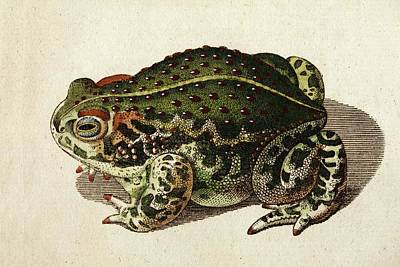 18th Century Photograph - 1796 Green Toad Bechstein Conservationist by Paul D Stewart