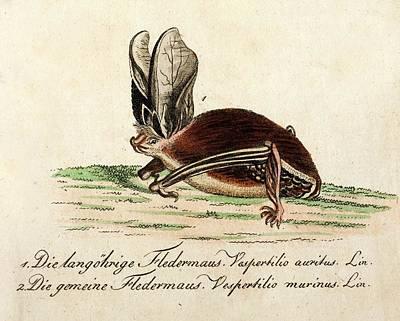 1796 Longeared Bat Bechstein Conservation Art Print by Paul D Stewart