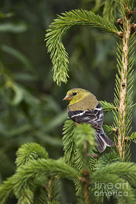 American Goldfinch Art Print by Linda Freshwaters Arndt