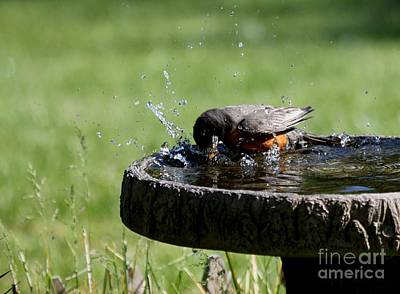 Photograph - American Robin by Jack R Brock