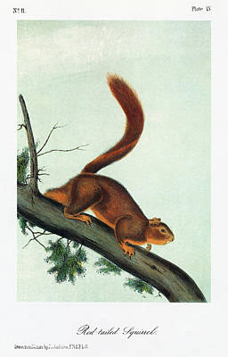 Red-tailed Squirrel Painting - Audubon Squirrel by Granger