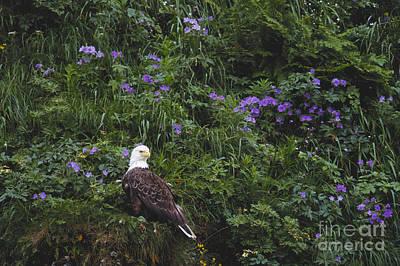 Bald Eagle Art Print by Art Wolfe