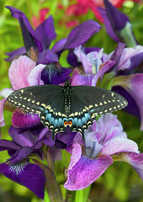 Blue Swallowtail Photograph - Black Swallowtail Butterfly, Papilio by Darrell Gulin