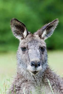 Eastern Grey Kangaroo (macropus Art Print by Martin Zwick