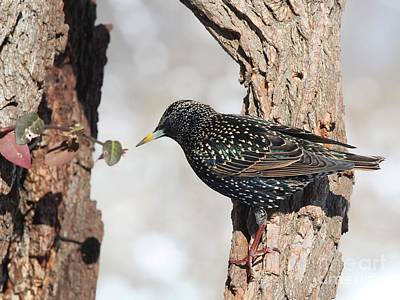 Photograph - European Starling by Jack R Brock