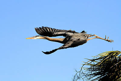 Photograph - Great Blue Heron by Ira Runyan