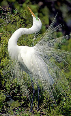 Photograph - Great Egret by Millard H. Sharp