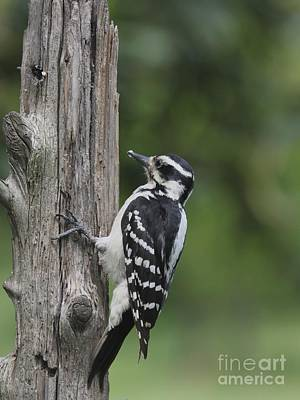 Photograph - Hairy Woodpecker by Jack R Brock