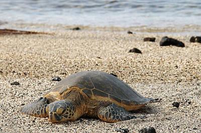 Green Sea Turtle Photograph - Hawaii by Sergi Reboredo