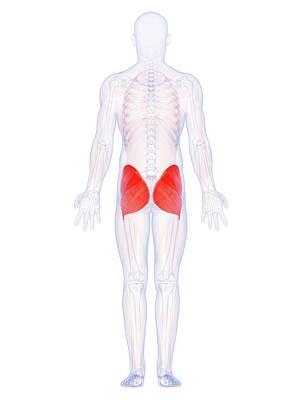 Buttocks Photograph - Human Buttock Muscles by Sebastian Kaulitzki