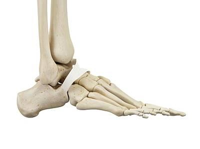 Human Foot Anatomy Art Print
