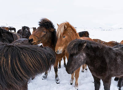 Icelandic Horse With Typical Winter Coat Print by Martin Zwick
