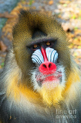 Mandrill Art Print by Millard H. Sharp