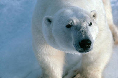 Photograph - Polar Bear by Dan Guravich
