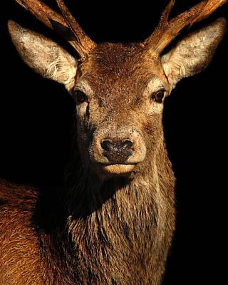 Grace Kelly - Red deer stag by Gavin Macrae