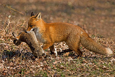 Rabbit Hunting Photograph - Red Fox Vulpes Vulpes by Gerard Lacz