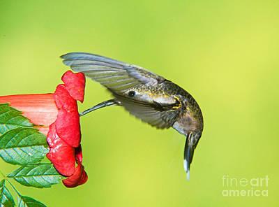 Apodiformes Photograph - Ruby Throated Hummingbird by Millard H. Sharp