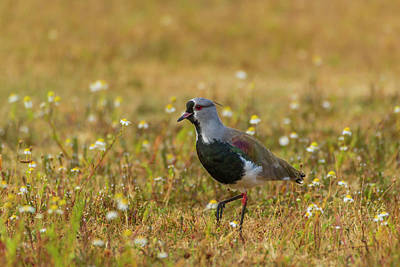 Lapwing Photograph - South America, Chile, Patagonia, Torres by Jaynes Gallery