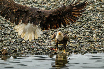 Courage Photograph - Usa, Alaska, Chilkat Bald Eagle Preserve by Jaynes Gallery
