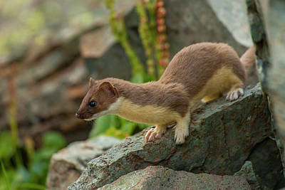Weasel Photograph - Usa, Colorado, San Juan Mountains by Jaynes Gallery