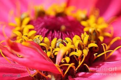 Photograph - Zinnia From The Whirlygig Mix by J McCombie