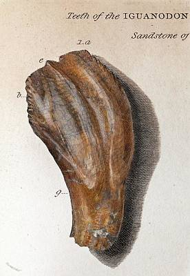 1825 Mantell First Iguanodon Tooth Colour Art Print by Paul D Stewart