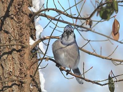 Photograph - Blue Jay by Jack R Brock