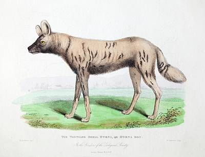 1830 First African Hunting Dog London Zoo Art Print by Paul D Stewart