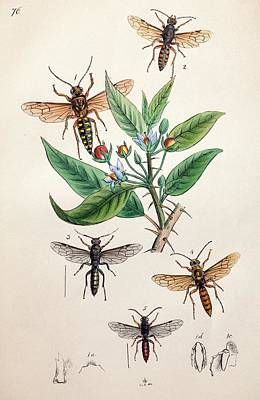 1845 Obadiah Westwood Insect Painting Art Print by Paul D Stewart