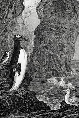 1850 Extinct Great Auk Near Rock Stacks Art Print by Paul D Stewart