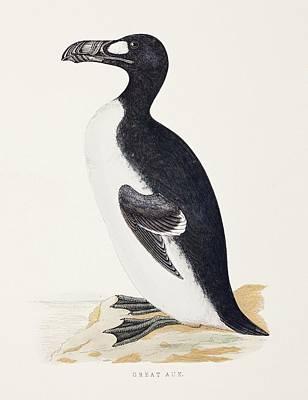 1853 Orpen Morris Extinct Great Auk Art Print by Paul D Stewart
