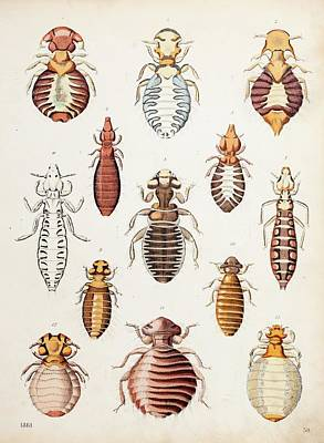 1861 A Variety Of Biting Lice Print by Paul D Stewart