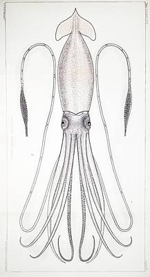 Squids Photograph - 1879 First Science Giant Squid Verrill by Paul D Stewart