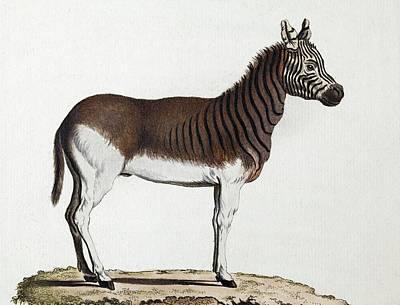 1883 Schreber Extinct Quagga Zebra Plate Art Print