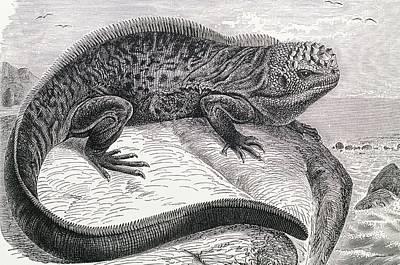 Iguana Wall Art - Photograph - 1896 Engraving Of Galapagos Sea Lizard by George Bernard/science Photo Library