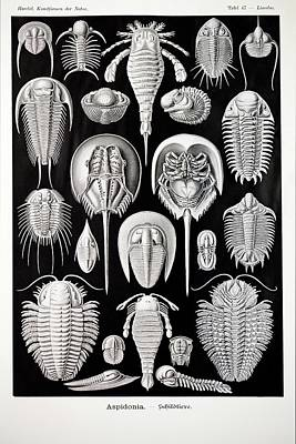 Horseshoe Crab Photograph - 1899 Haeckel Aspidonia Trilobite Artwork by Paul D Stewart