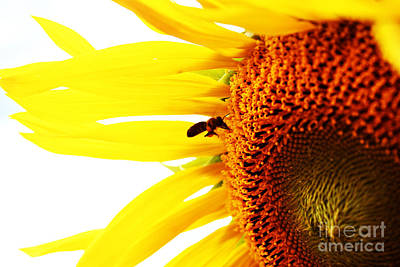 Rose - A bee on a sunflower by Indian Summer