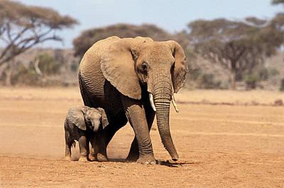 Mother Elephant Photograph - African Elephant Loxodonta Africana by Gerard Lacz