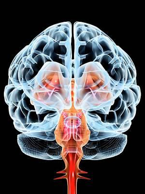 Organ Photograph - Brain by Pasieka