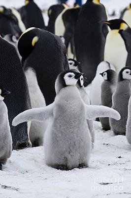 Photograph - Emperor Penguins, Antarctica by Greg Dimijian
