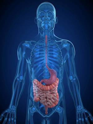 Healthy Digestive System Art Print by Sciepro/science Photo Library