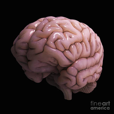 Human Brain Photograph - Human Brain by Science Picture Co