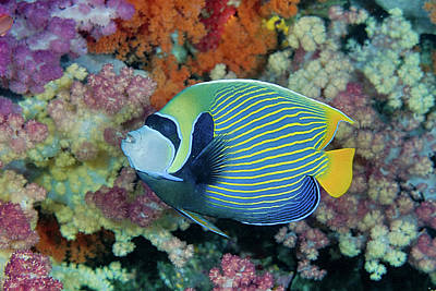 Angelfish Wall Art - Photograph - Indonesia, Papua, Raja Ampat by Jaynes Gallery