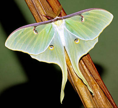 Photograph - Luna Moth by Millard H. Sharp