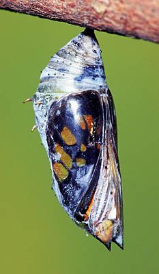Photograph - Malachite Butterfly by Millard H. Sharp