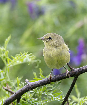Photograph - Orangecrowned Warbler by Doug Lloyd