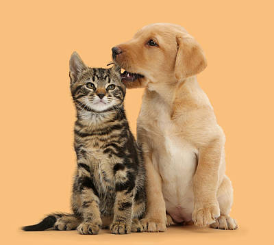 Lab Pup Photograph - Puppy And Kitten by Mark Taylor
