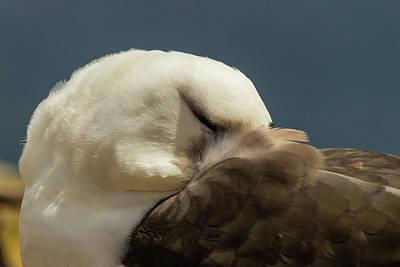 Albatross Wall Art - Photograph - South America, Falkland Islands by Jaynes Gallery