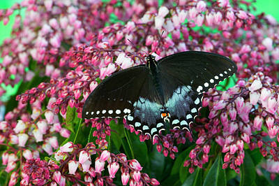 Blue Swallowtail Photograph - Spicebush Swallowtail Butterfly by Darrell Gulin