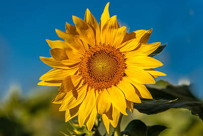 Photograph - Blue And Gold Sunflower by Melinda Ledsome